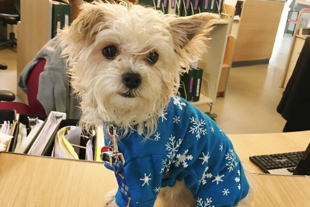 Small dog in blue clothes on desk at New Britain facility.